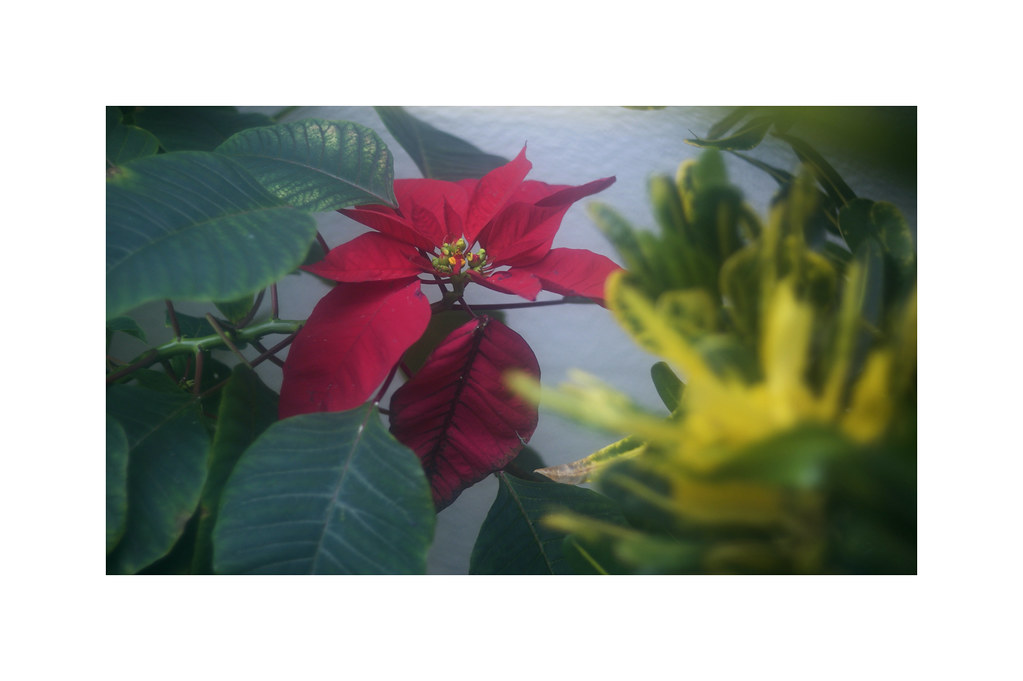 poinsettia in florida winter