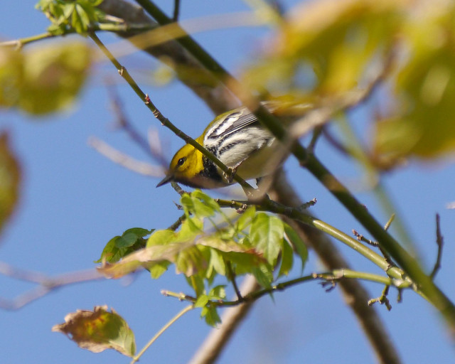 Black-throated Green Warbler - 1 - 1