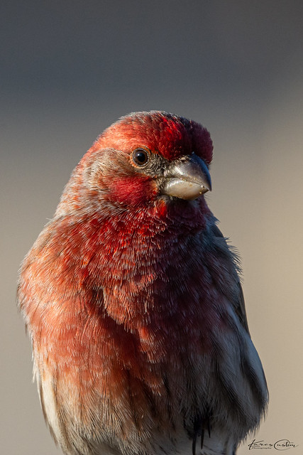 Male House Finch Portrait