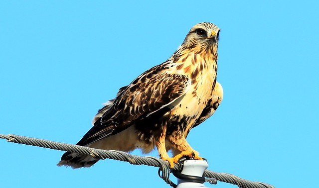 rough-legged hawk near Lime Springs IA 653A3849