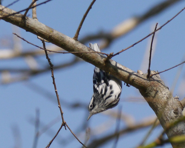 Black-and-white Warbler - 1 - 2