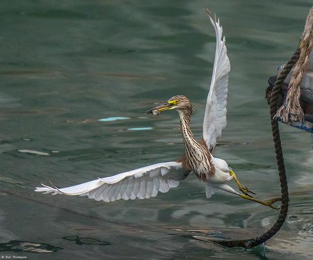 Chinese Pond Heron  (Ardeola bacchus)  20191222-PANA4158