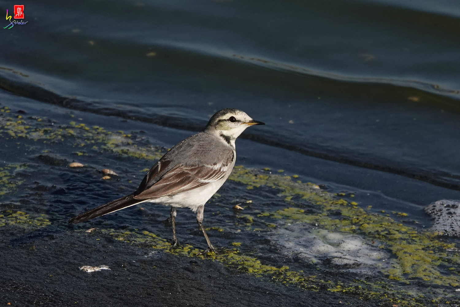White_Wagtail_00509