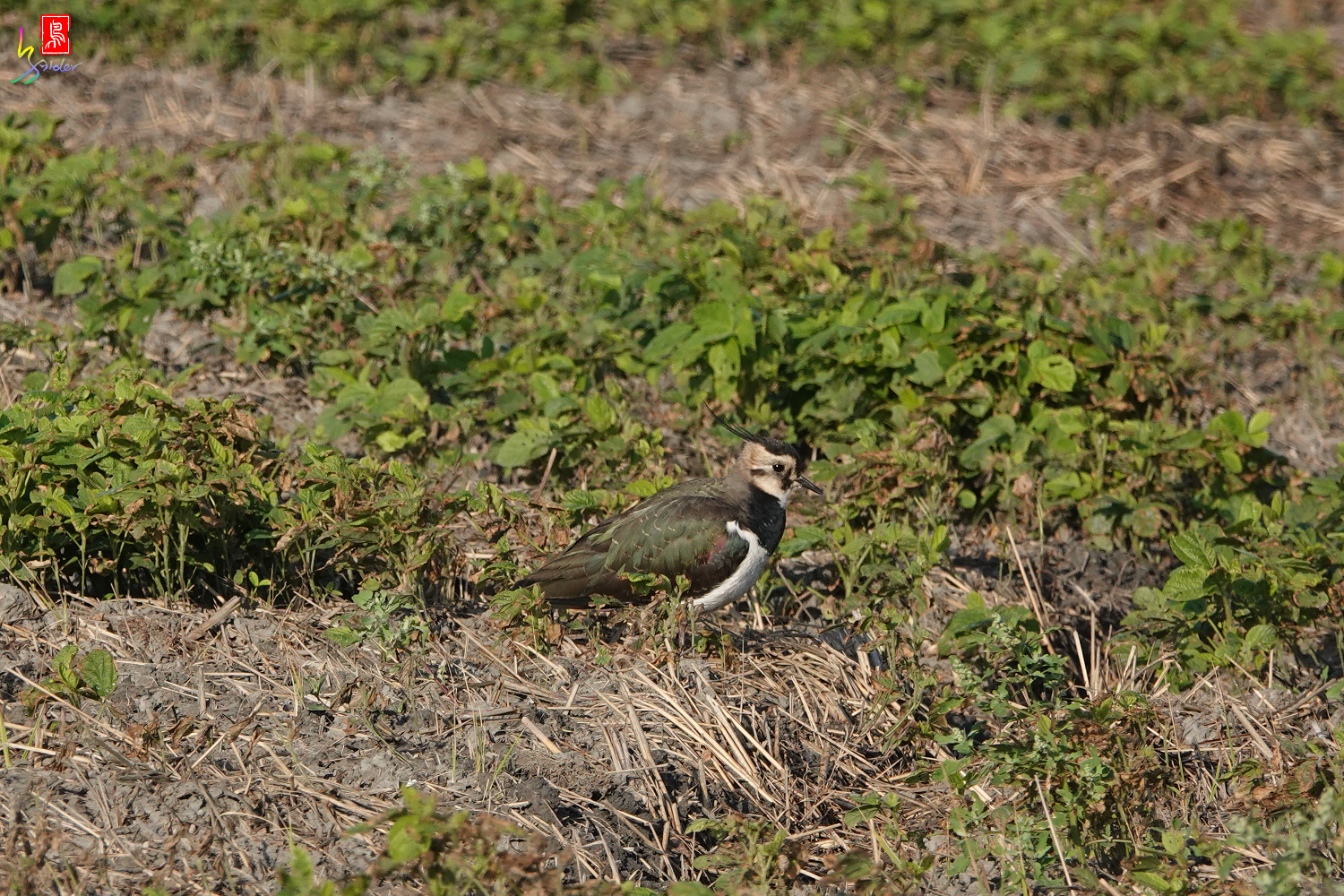 Northern_Lapwing_00201