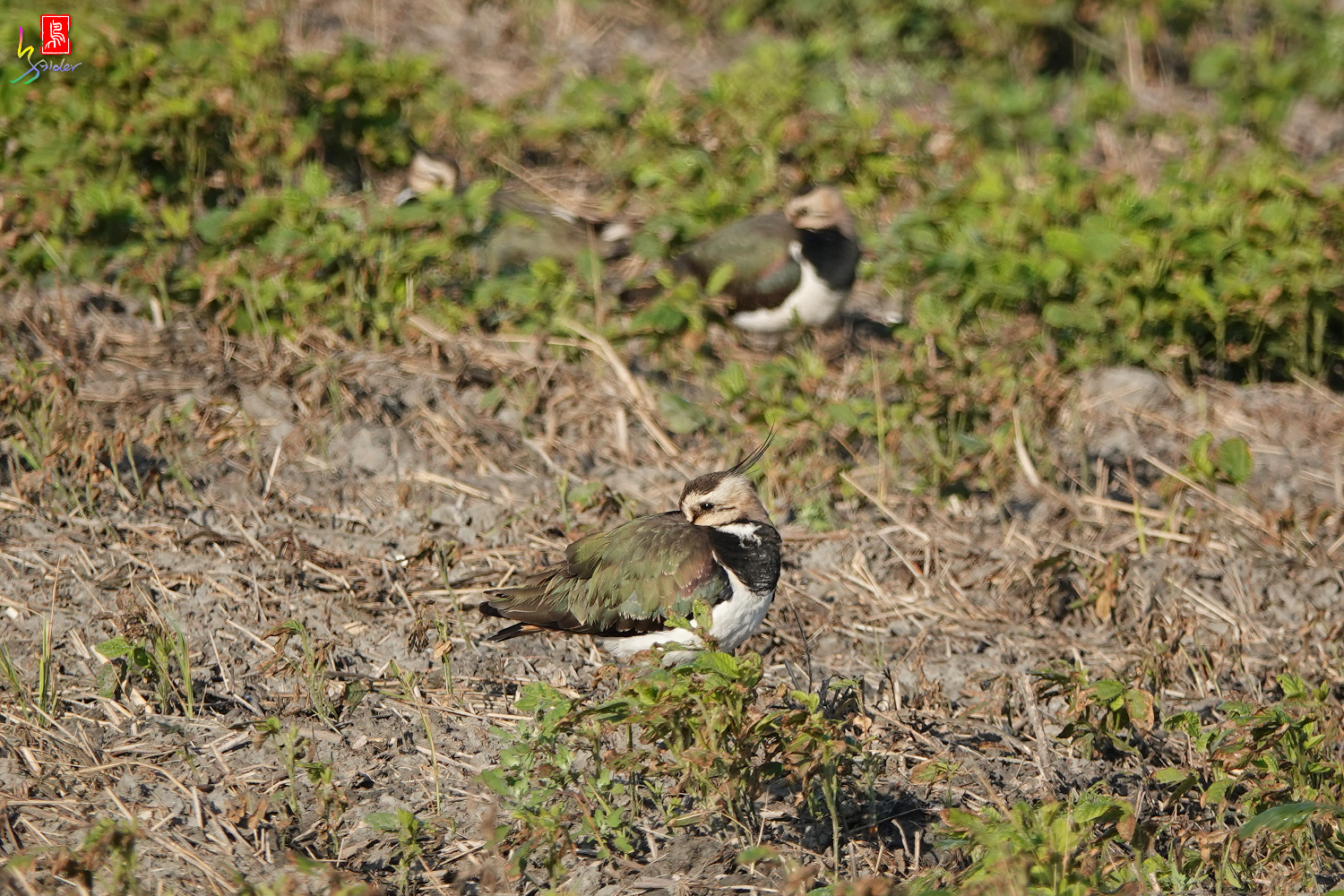 Northern_Lapwing_00166