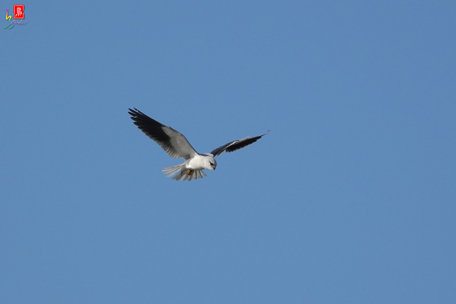 Black-winged_Kite00457