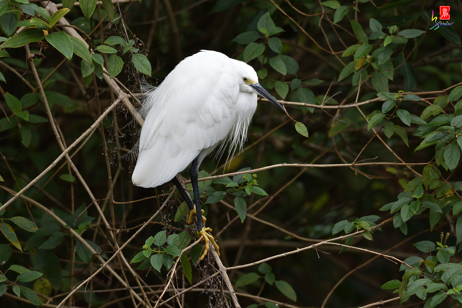 Little_Egret_8459