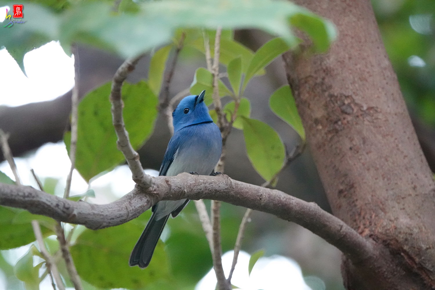 Black-naped_Monarch_00814