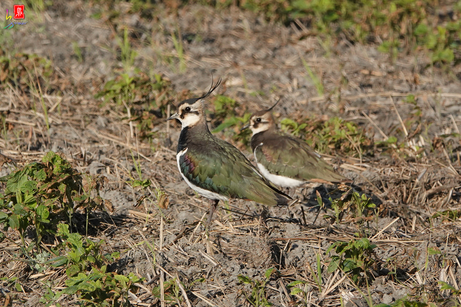 Northern_Lapwing_00190