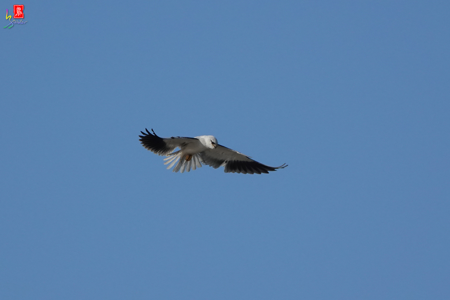 Black-winged_Kite00465