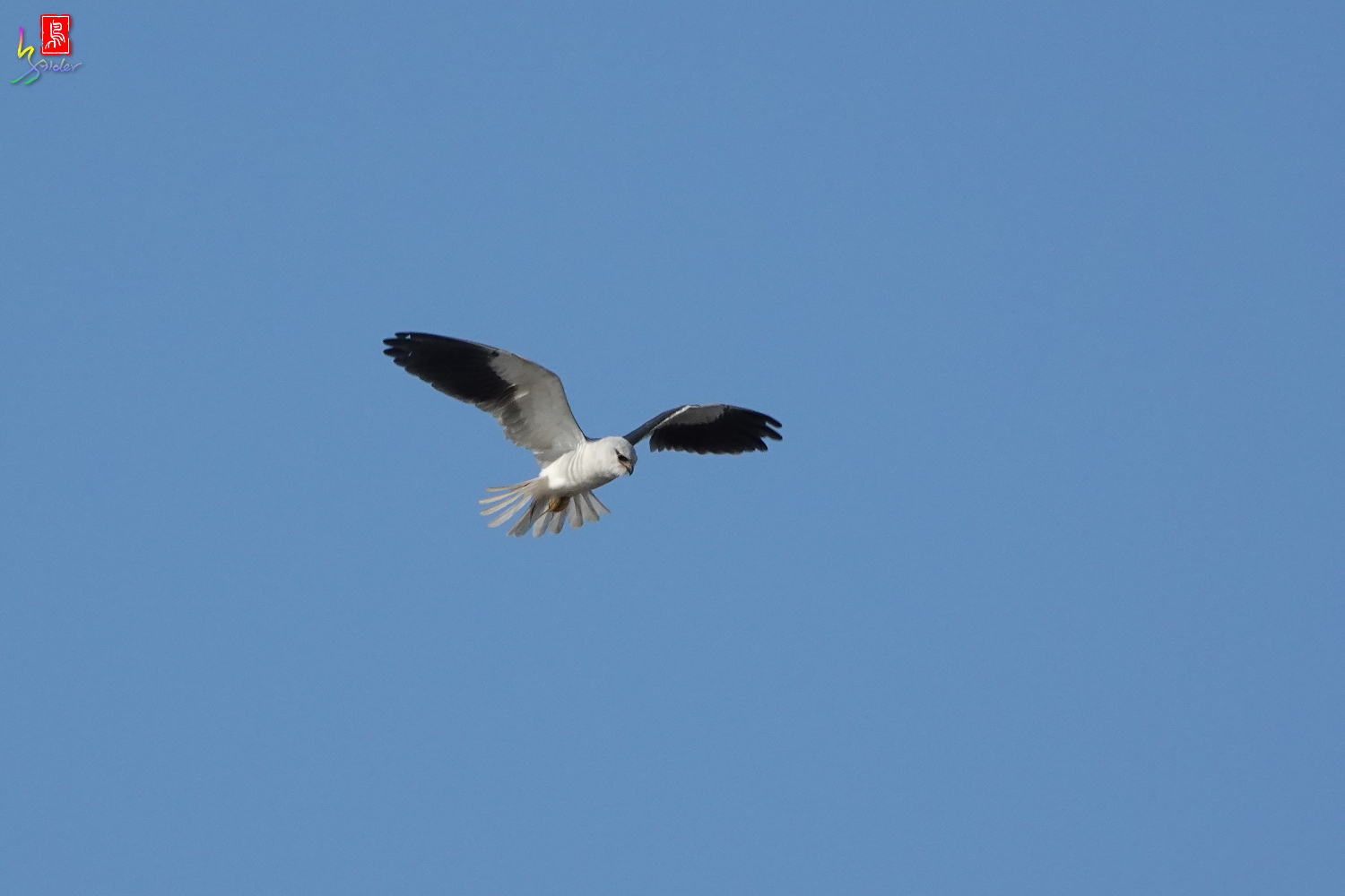 Black-winged_Kite00452