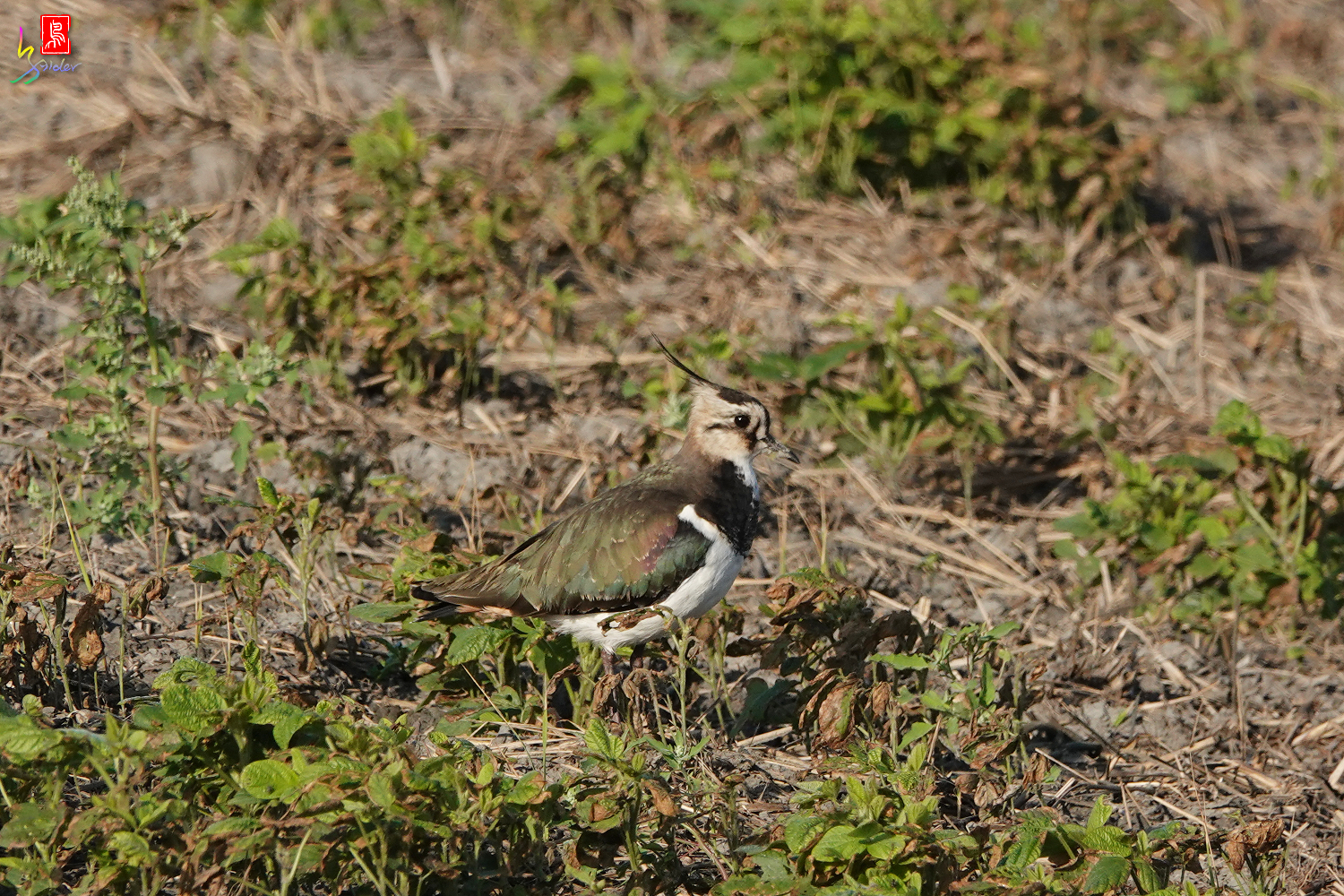 Northern_Lapwing_00192