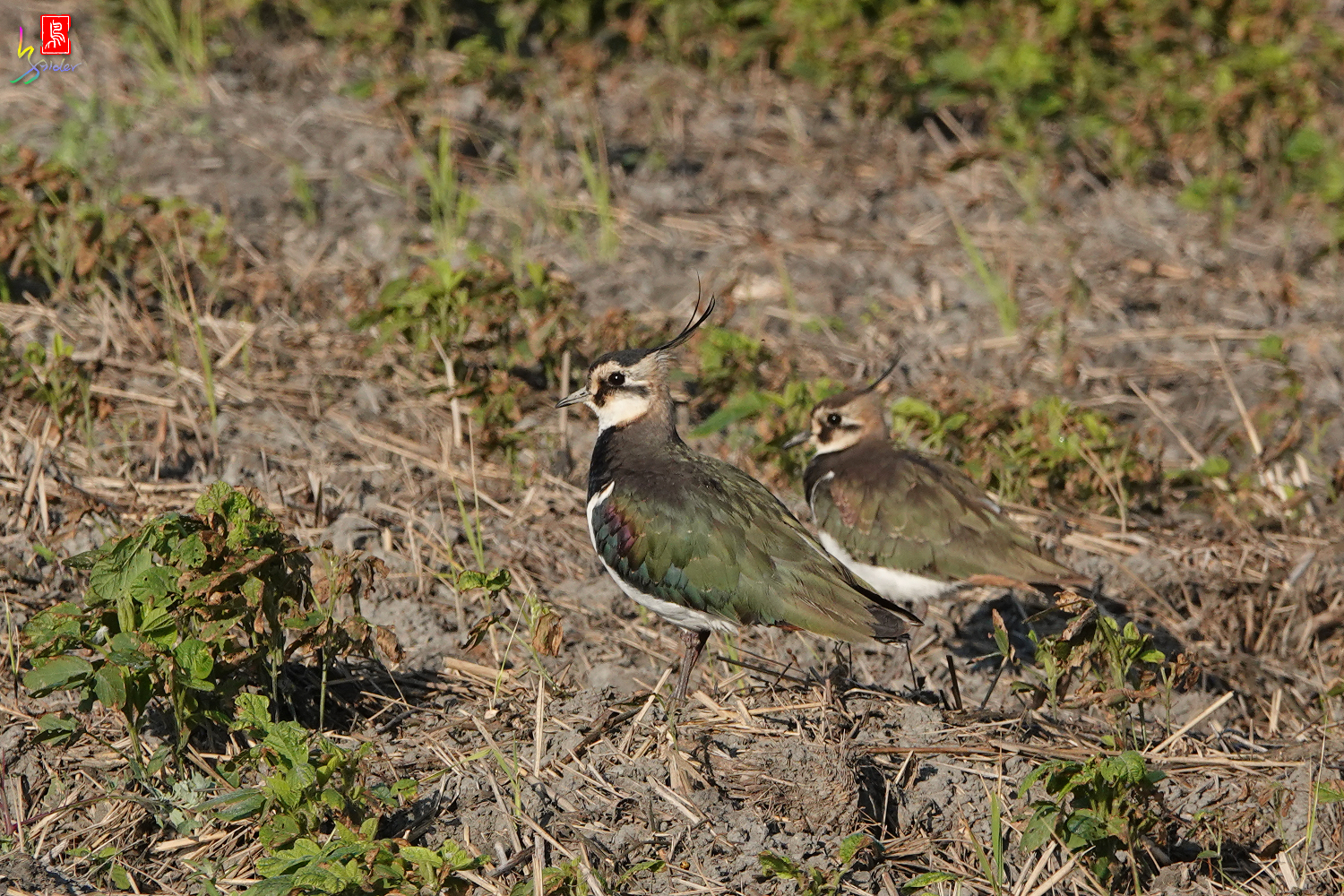 Northern_Lapwing_00185