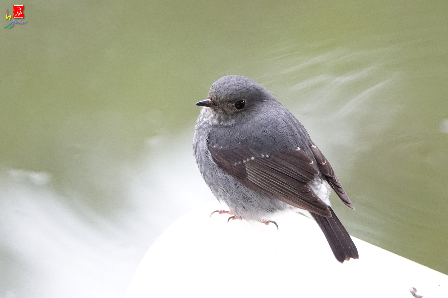 Plumbeous Water Redstart_00960