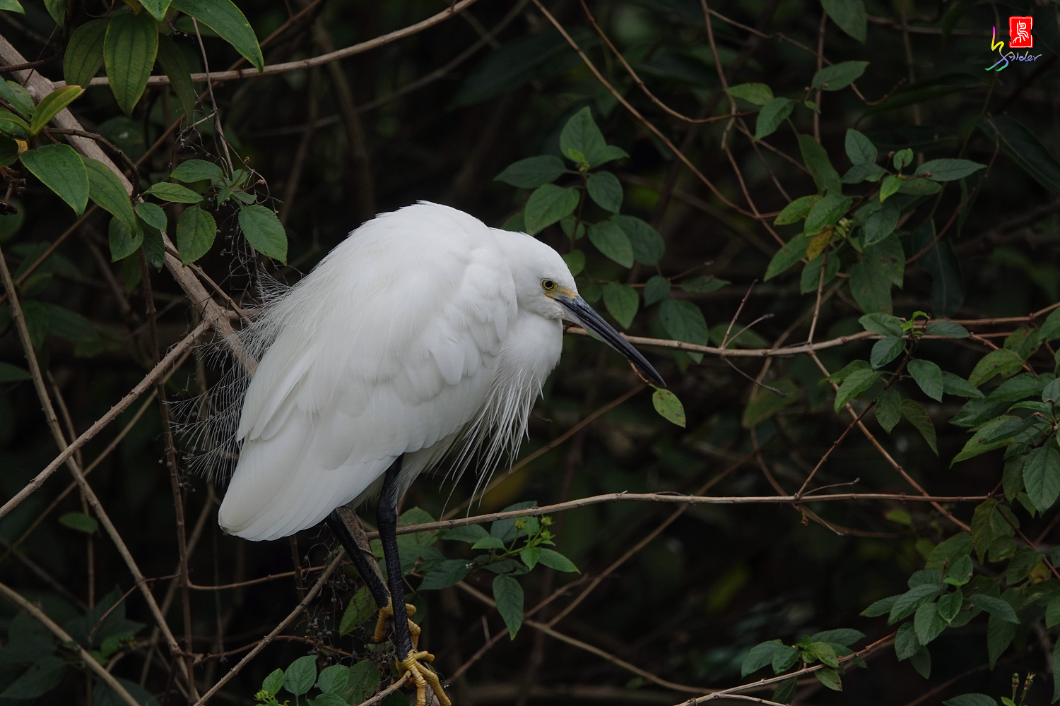 Little_Egret00749
