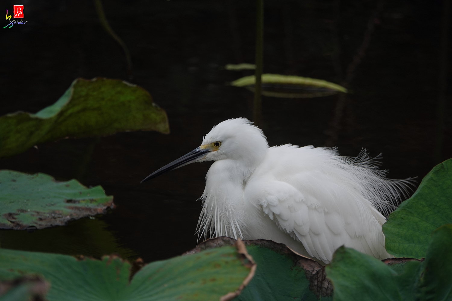 Little_Egret_00809