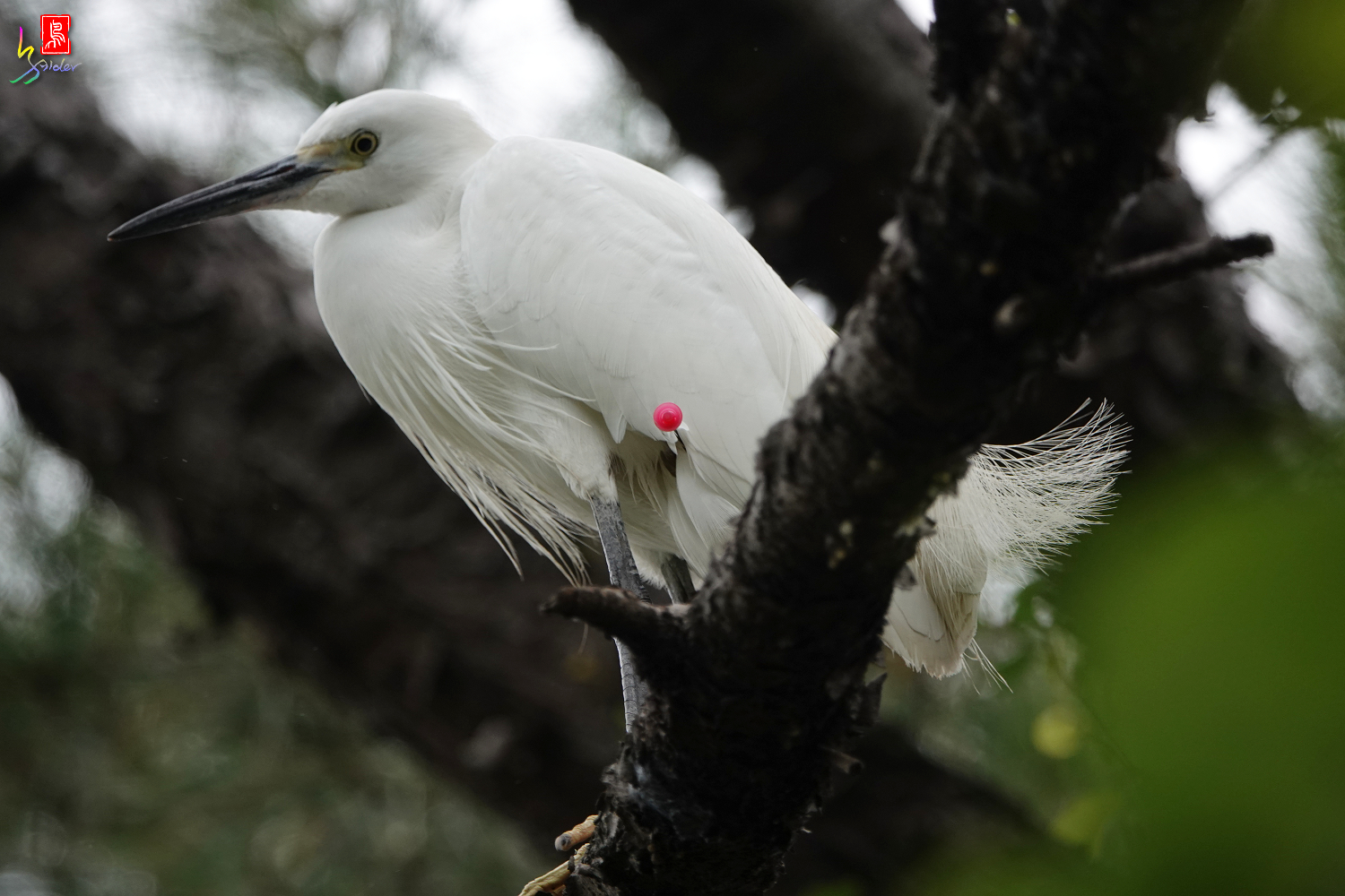 Little_Egret_00857