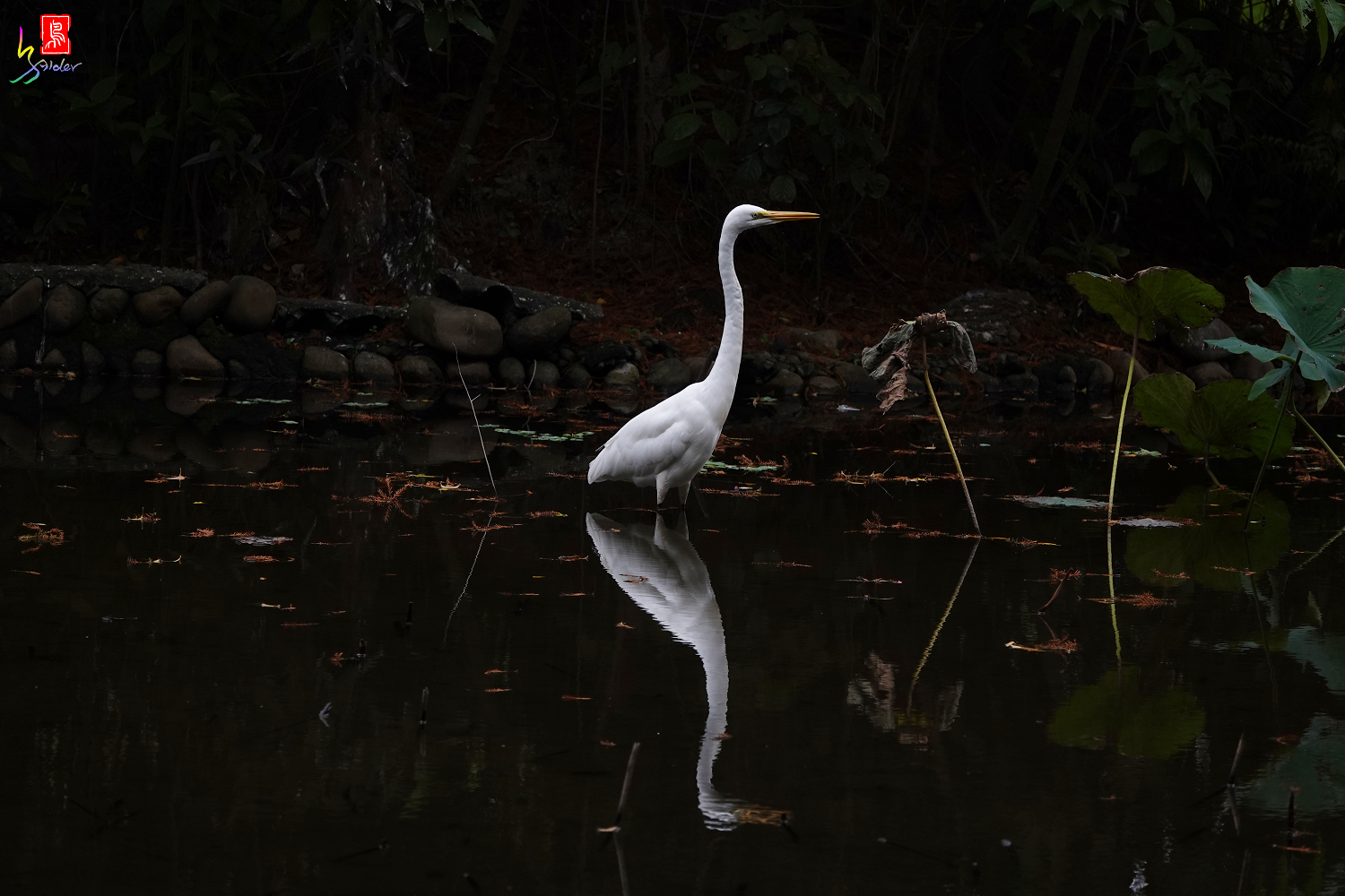 Great_Egret00737