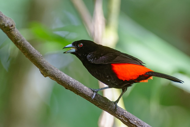 Scarlet-rumped Tanager / Tangara à croupion rouge *See Costa Rica Album