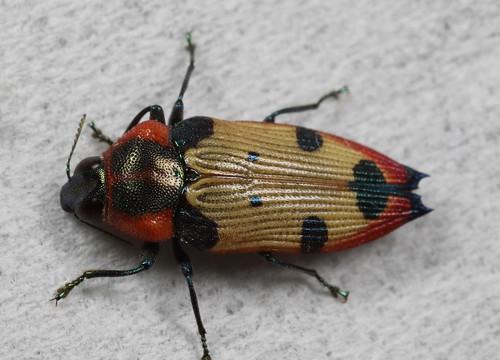 Buprestid Beetle (Castiarina gardnerae)