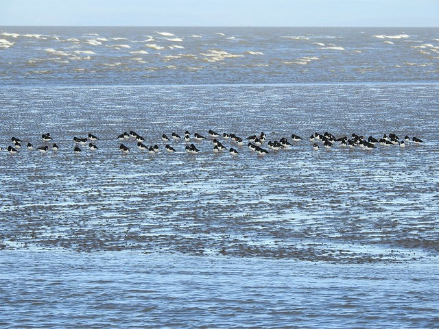 Oystercatchers at High Tide, Knott End, Lancashire
