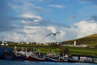 Bird over Dingle bay