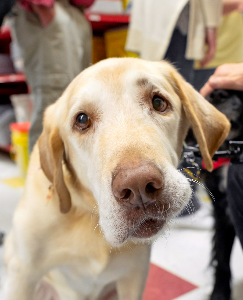 An inquisitive looking yellow lab that has white fur on his face