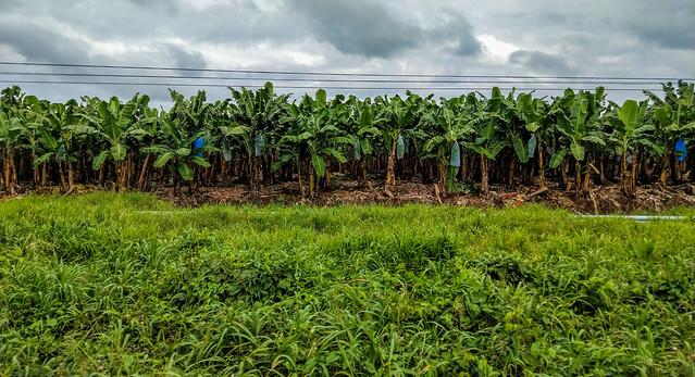 Taip auga bananai