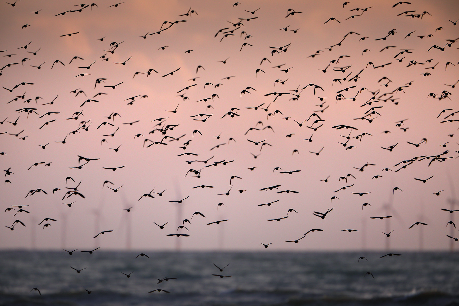 Starlings and Rampion Wind Farm