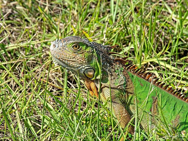 🇺🇸 Camaflouge iguana KW 0154