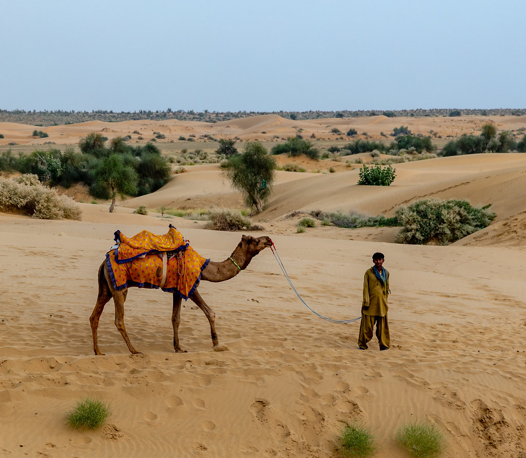 Camels during the best time to visit Jaisalmer