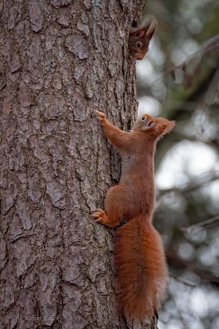 Hoch oben in einer Kiefer bittet ein rotes Eichhörnchen ein braunes Hörnchen erfolgreich um Einlass in eine Spechthöhle
