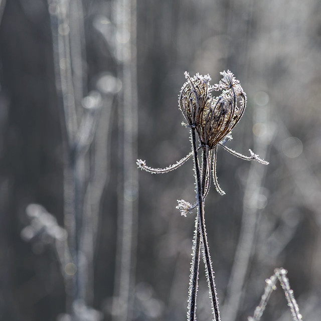 Frosted Queen Anne's Lace