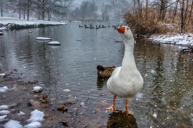 Inquisitive Goose