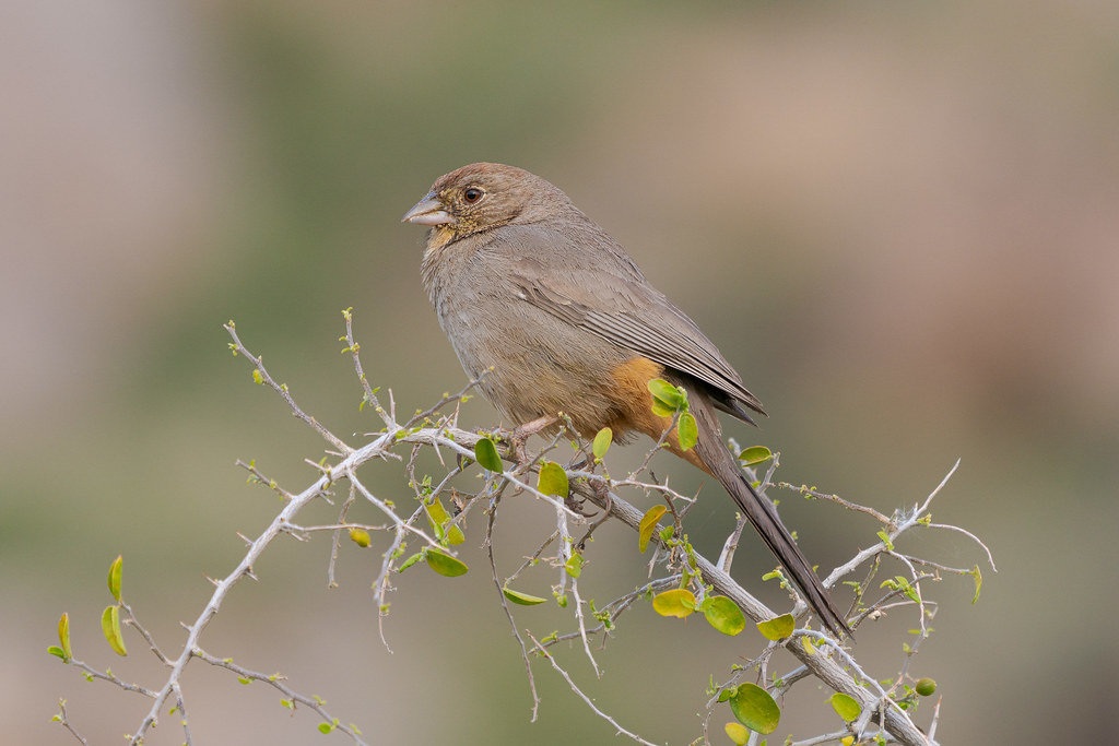 A side view of a canyon towhee perching on a tree on the Marcus Landslide Trail in McDowell Sonoran Preserve in Scottsdale, Arizona in April 2019