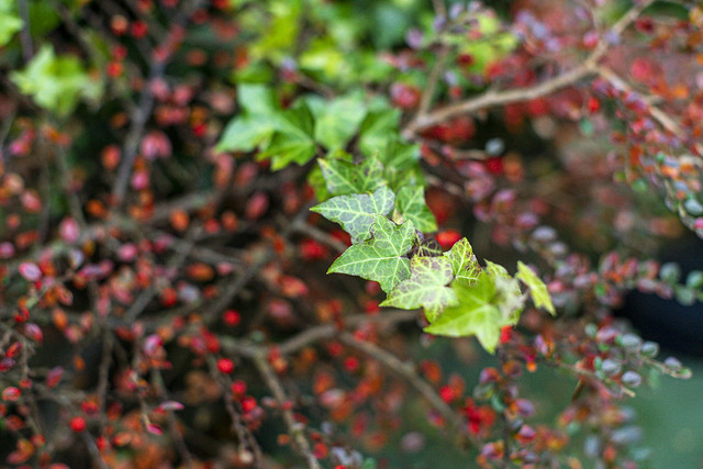 Ivy with red leaves and berries