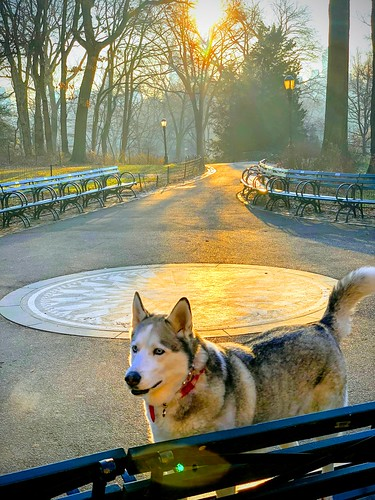 newyorkcity blueeyes husky siberianhusky thebeatles imagine strawberryfields