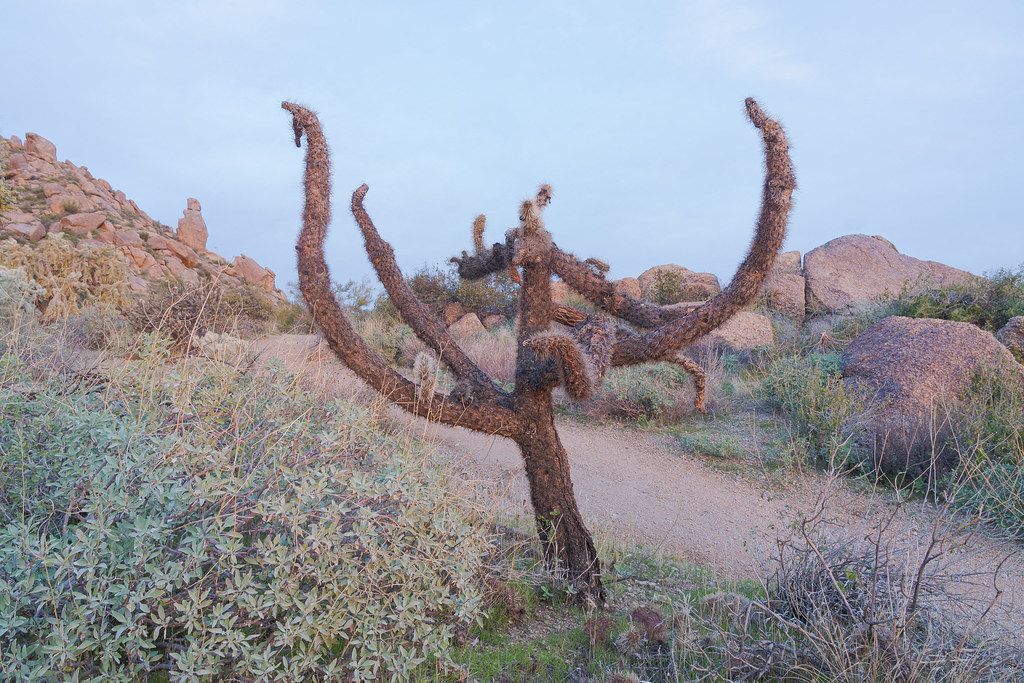 A dead chain fruit cholla beside the Marcus Landslide Trail in McDowell Sonoran Preserve in Scottsdale, Arizona in December 2019