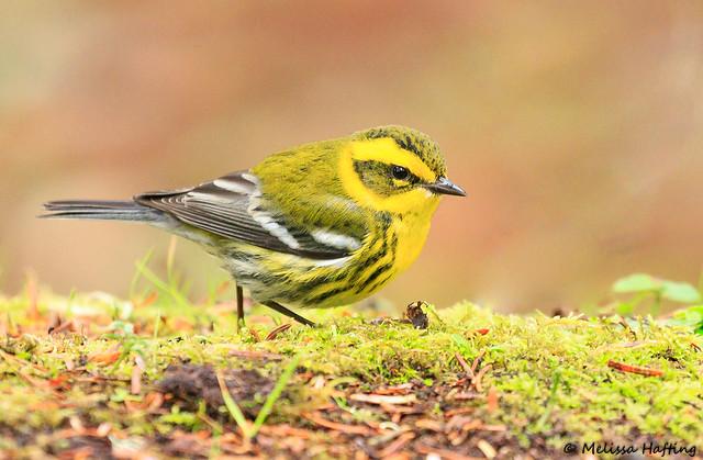 Townsend's Warbler (Setophaga townsendi) - WA