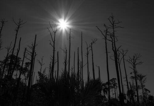 olympusomdem5 olympus1250mmf3563 florida landscapeimage sammysantiago samuelsantiago fineart walldecor photography sun trees silhouette monochrome christmas star rays blackandwhite