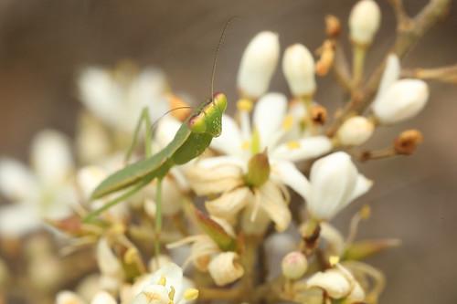 Praying Mantis nymph_19-12-16_1