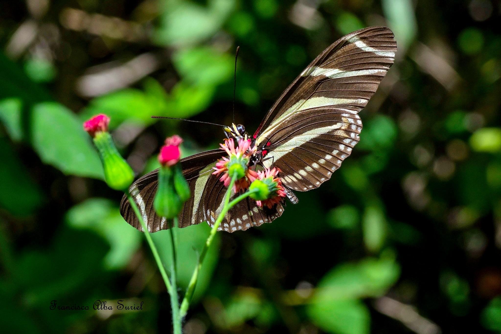 Mariposa cebra (Heliconius charithonius churchi)