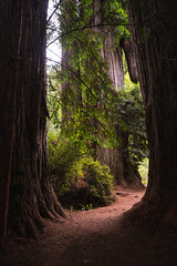 Between Sequoias