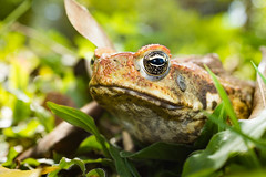 toad, frog, bullfrog, amphibian, closeup