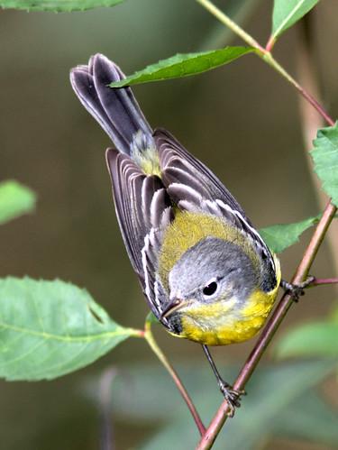 Magnolia Warbler COREL 03-20191220