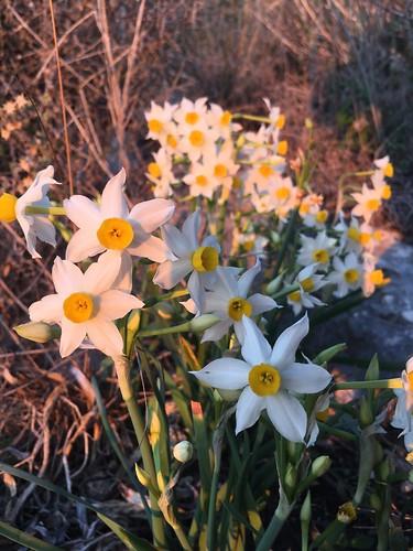 Narcisse de Montagne (Narcissus gazette)