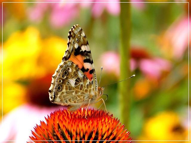Z kolekcji motyli.