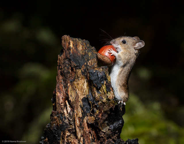 Wood Mouse Lifting a Hazelnut while Climbing on Fallen Tree