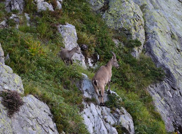 Bouquetins - Ibex