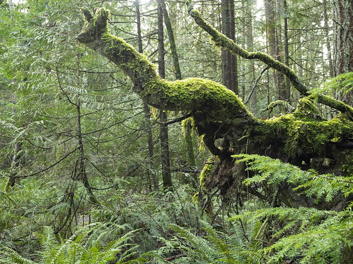 green woods forest acfl trees moss ferns wetweather nature walkinglandscape foresttrails anacorteswa pnw shapes texture